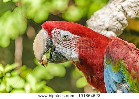 Ecuadorian Parrot At Zoo, Guayaquil, Ecuador