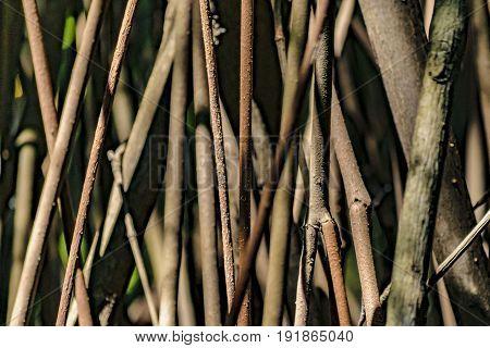 Mangle Tree Detail View, Ecuador