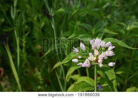 Buds Of White Allium Roseum Flowers