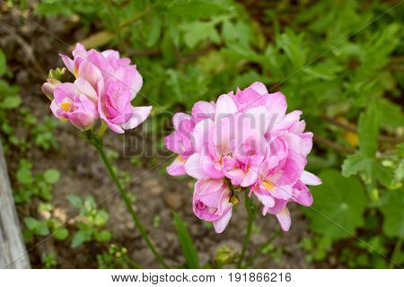 Two Clusters Of Pink Double Freesia Flowers