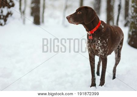 Lonely dog with red collar stands in winter forest and looks away