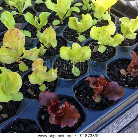 Green and red lettuce seedlings growing in a cell tray in a horticultural nursery