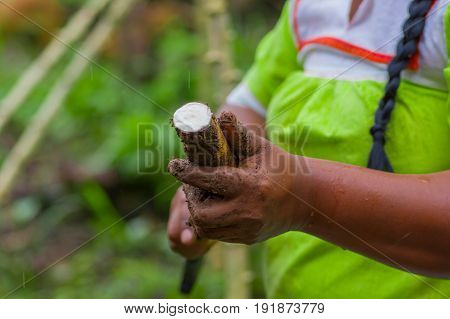 Cutting a root of yucca plant, inside of the amazon forest in Cuyabeno, Ecuador.