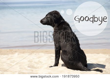 Speech Balloon With English Text Goodbye. Flat Coated Retriever Dog At Sandy Beach. Ocean And Water In The Background