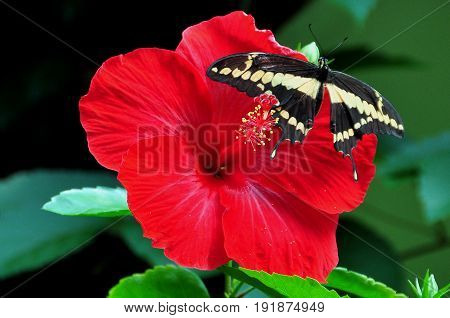 A King swallowtail butterfly lands on a red hibiscus flower in the gardens.