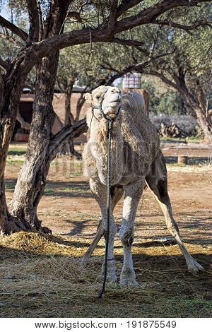 Camels on camel farm tourist attraction, Morocco Africa
