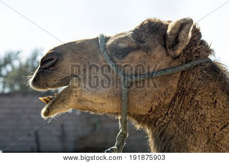 Camels on camel farm, tourist attraction Africa Morocco