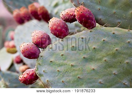 Opuntia Prickly pear fruit in Atlas mountains