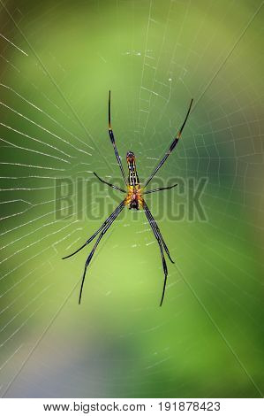 Image of a Golden orb web spider on nature background. Insect Animal