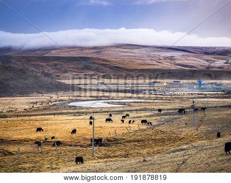 Flock of yaks grazing in the field at the wayside in Sichuan China