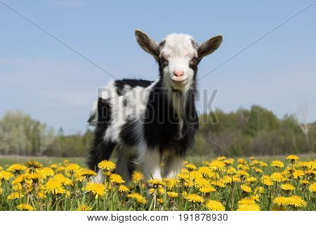Young funny goat on the field in dandelions and looking at the camera