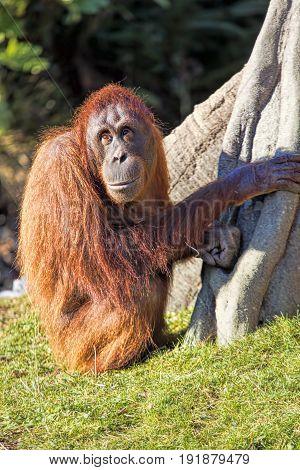 Bornean orangutan Pongo o pygmaeus in Dublin Zoo