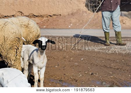 Sheep herd with shepherd in Africa, Morocco