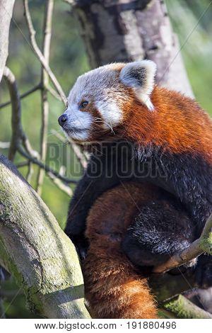 Red panda on the tree zoo, Dublin