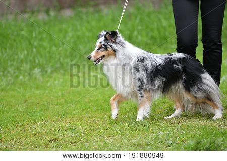 Dog Breeds Of Shelties