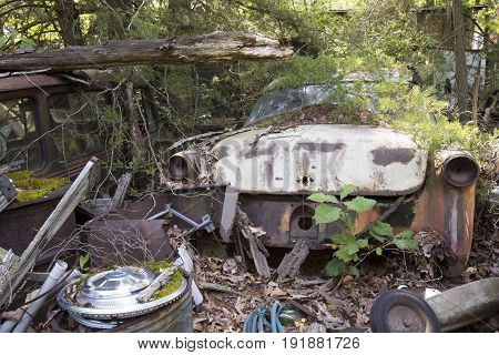 Rusting classic American car with hubcap covered in pine branches in junkyard.