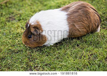 Guinea pig feeding on the grass Uk