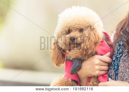 Toy poodle playing outsoors with its female master.