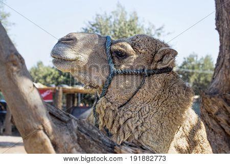 Camel on camel farm, tourist attraction Marrakech Morocco