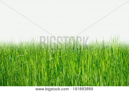 Soft focus of  flowers grass  in spring time