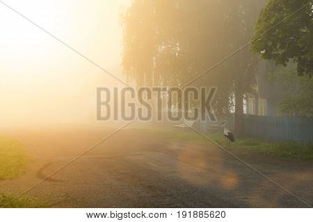 White Stork At Dawn Walking Through The Village In The Fog
