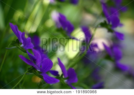 The viola blossoms. Monophonic violet flowers modestly look on a green background.