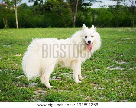 White Dog Playing In The Garden Or Park