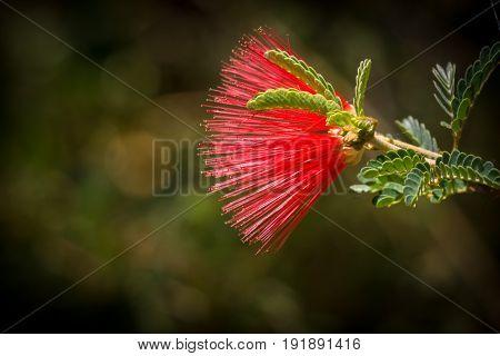Baja Fairy Duster Flower with dark background
