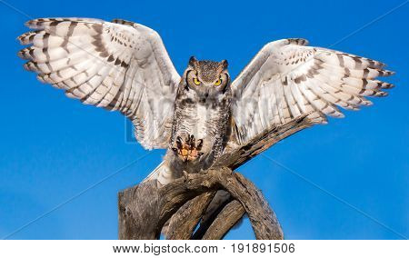 Great Horned Owl with Wings Outstretched Landing on Branch