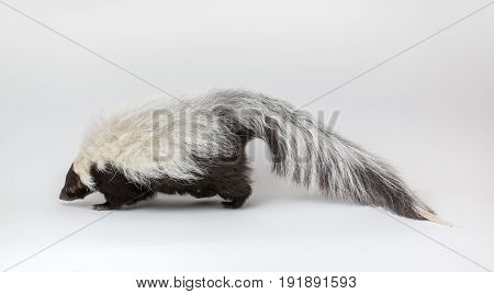 Striped Skunk on White Background isolated head down smelling