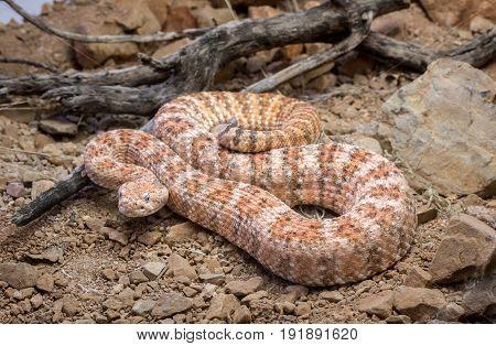Orange Speckled Rattlesnake on Ground coiled rocks