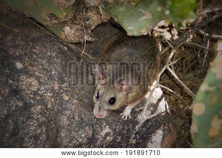 Packrat on Cactus wood rat white throated