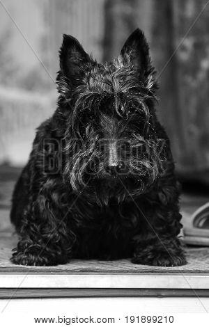 rustic black dog sitting near the house