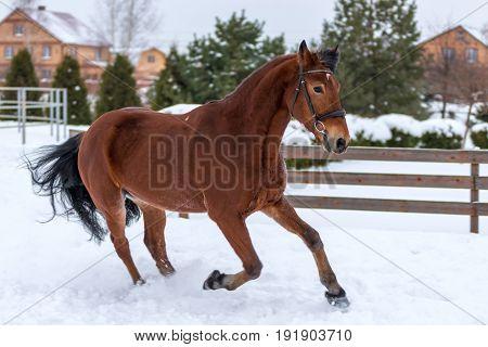Brown Racehorse Running Around The Winter Field