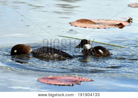 Female Common goldeneye (Bucephala clangula) and duckling swimming on pond.