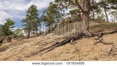 Pine tree with winding roots on the slope of a sandy hill on the coast of lake Baikal.