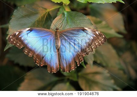 Gorgeous image of blue butterfly with open wings, set on green  leaves of tree.