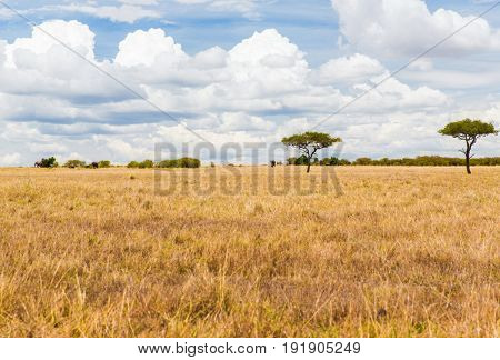 nature and wildlife concept - elephants in maasai mara national reserve savannah at africa
