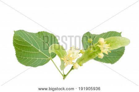 Two inflorescence of the linden on a blured background of the leaves on a light background