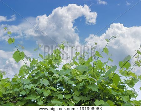 Background of vine with stems leaves and ripening grapes on the background of the sky with clouds