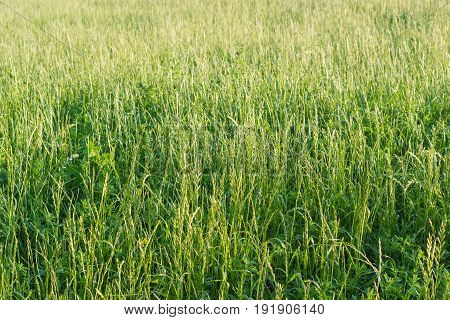 Background of the field with high grass with let out ears at summer evening