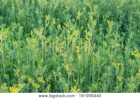 Background of a fragment of the planting of the dill with stems leaves and inflorescences at summer evening