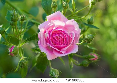 Branch with pink flower and several buds of the Bourbon rose on the blurred background of a rose bush