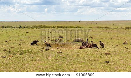 birds of prey, nature and wildlife concept - griffon vultures eating carrion in maasai mara national reserve savannah at africa