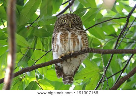 Asian Barred Owlet Glaucidium Cuculoides Cute Birds Of Thailand