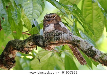 Blyth's Frogmouth Batrachostomus Affinis Male Birds In Nest