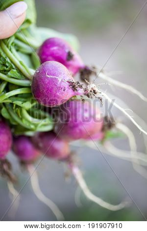 Fresh bunch of harvested radish