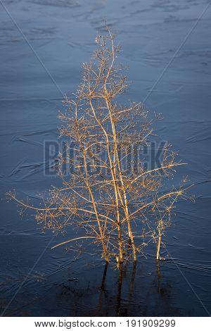 Water Plantain in a lake in Giethoorn in wintertime in National Park Weerribben-Wieden Netherlands.