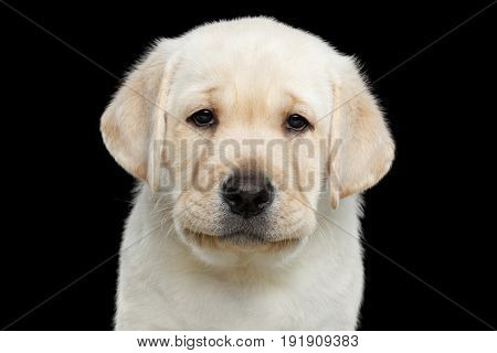 Close-up portrait of Labrador Puppy with Sad eyes Looking in camera on isolated Black background, front view