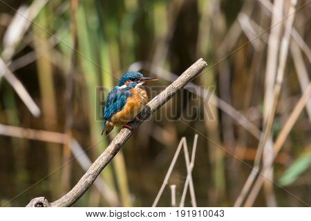 Female Kingfisher (alcedo Atthis) Sitting On Branch Within Reed Belt